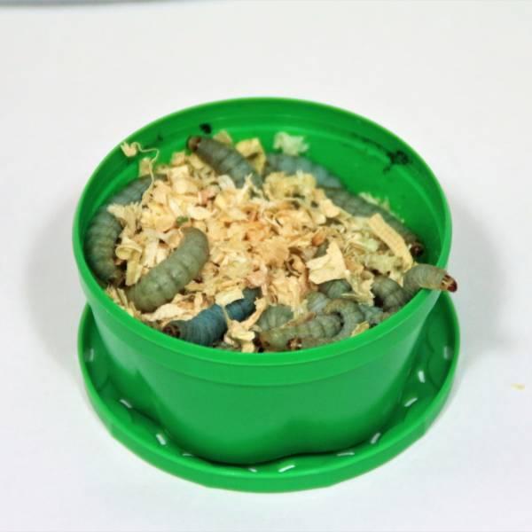 Bienenmaden grøn bæger